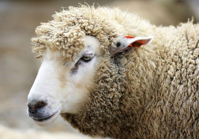 Интернет платформа за овцевъдство ще бъде създадена по проект на Националната асоциация за развъждане на млечни овце в България
